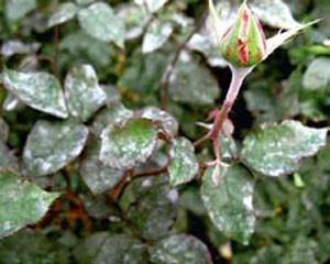 мучнистая роса роза