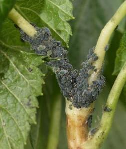 Aphis grossulariae (Light green) + Aphis schneideri (Dark green) 2 (3264 x 2448) Ribes nigrum