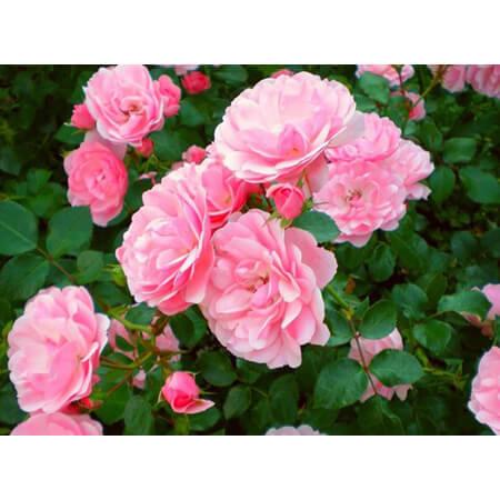 прелестная роза