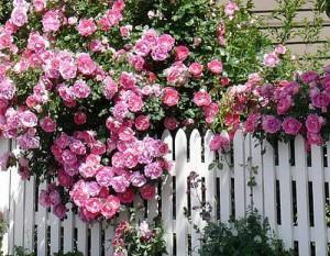 роза у забора