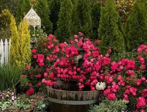 роза возле кустарника