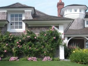 розы возле стены дома