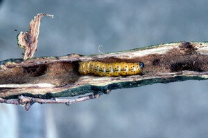 древесница въедливая (гусеница)