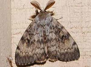 непарный шелкопряд (бабочка)