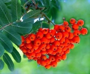 плоды рябины