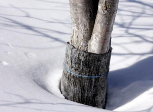 обвязка дерева рубероидом