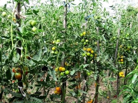 выращивание Де-барао