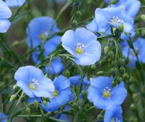 Лен (цветы)