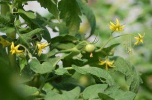 почему опадает завязь томатов